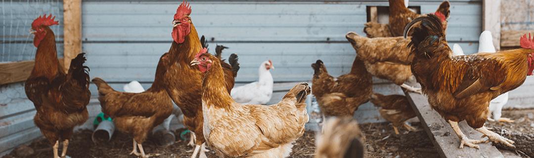 forum élevage poulets